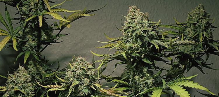 Cannabis-Typen