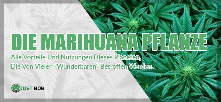die marihuana pflanze 2