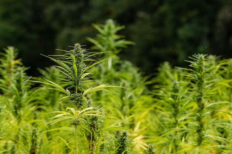 Marihuana cbd Kulturen in Deutschland