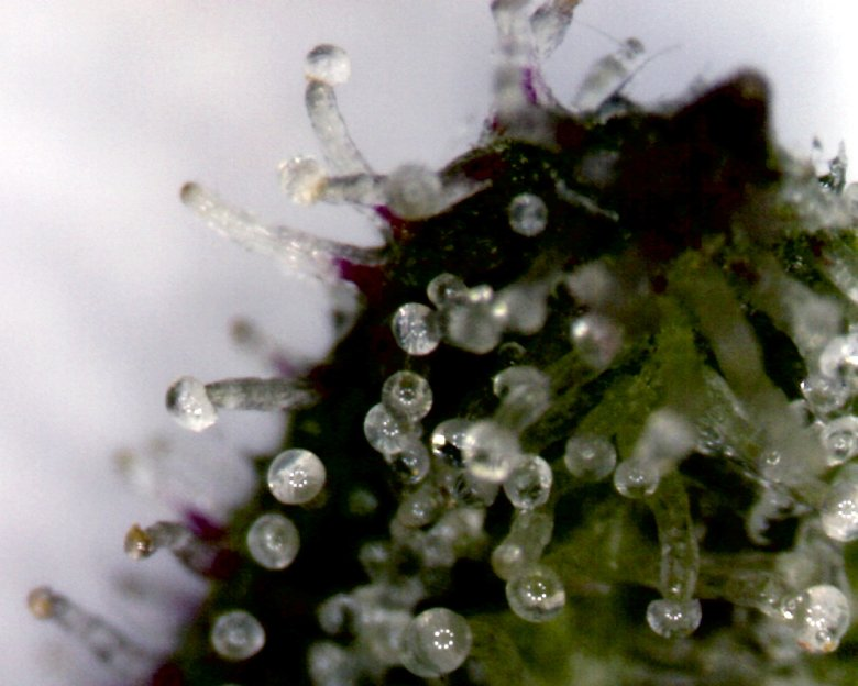 Trichomes Reifes legales marihuana